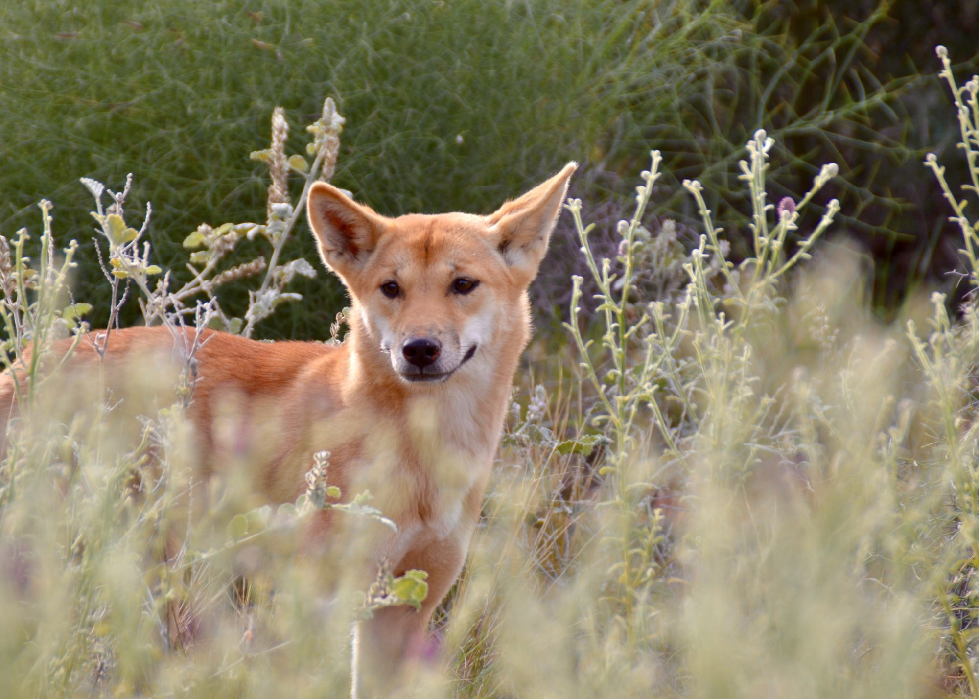 The Outback Dingo